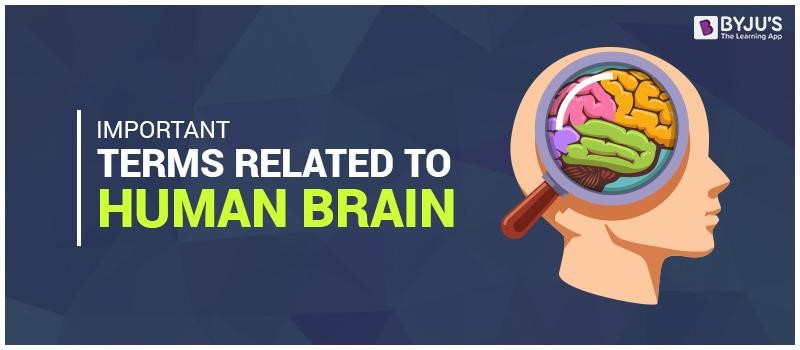 Important Terms Related to Human Brain